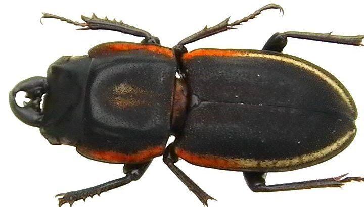 Pycnosiphorus caelatus - Hľadať Googlom
