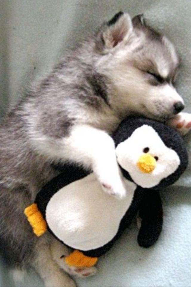 Really Cut Baby Husky And A Very Cute Stuffed Penguin