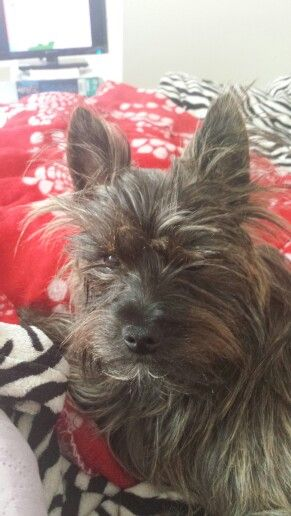 Fourche Terriers Are The Best Terrier Cairn Terrier Doggy