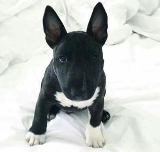 Pin By Angel Prewitt On Bull Ferrier Ingles Bull Terrier Bull Terrier Puppy Miniature Bull Terrier