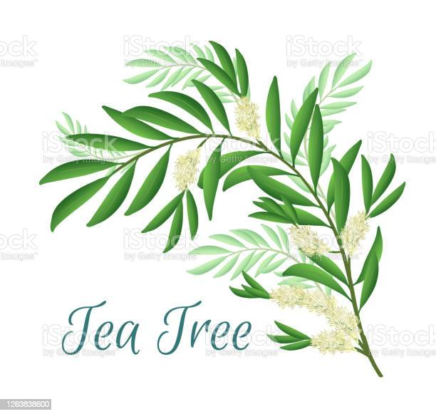 Tea Tree Branch With Flowers And Leaves Malaleuca Or Tea Tree Design In 2021 Composition Design Tree Designs Flower Frame