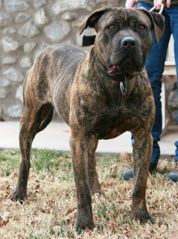 The American Bandogge Mastiff Is A Cross Between Any Breed