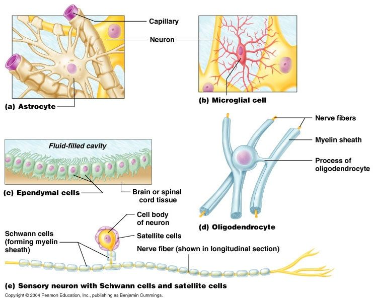 17 Best images about glial cell on Pinterest | The nerve, Neurons ...