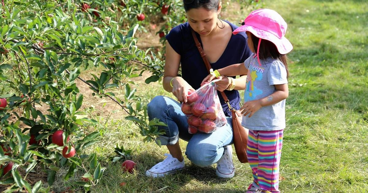 Fall apple-picking is a tradition for many families, but every year sees many first-timers joining in the fun. Here are six places you can go in the suburbs during the next couple months.