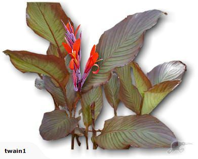 Canna MUSIFOLIA - The beast of Cannas  Capable of reaching