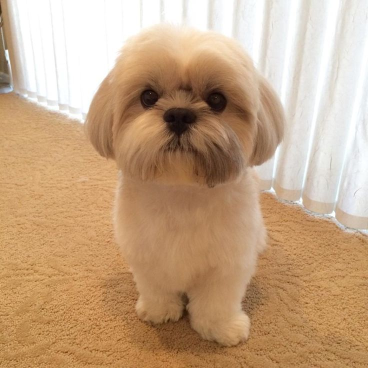 These Things If You Plan To Own A Shih Tzu More Shih Tzu Haircuts Shih Tzu Grooming Shih Tzu Puppy