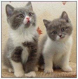 British Shorthair Cat Blue With White Bi Color British Shorthair Cats British Shorthair Cattery