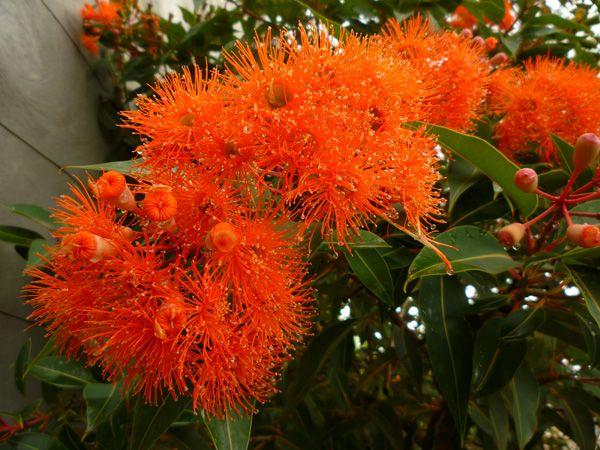 Eucalyptus Flowers In Sydney Australiathe Caps On Some