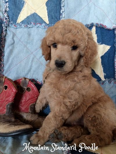 Standard Poodle Puppy 5 Weeks Old Poodle Puppies Animals