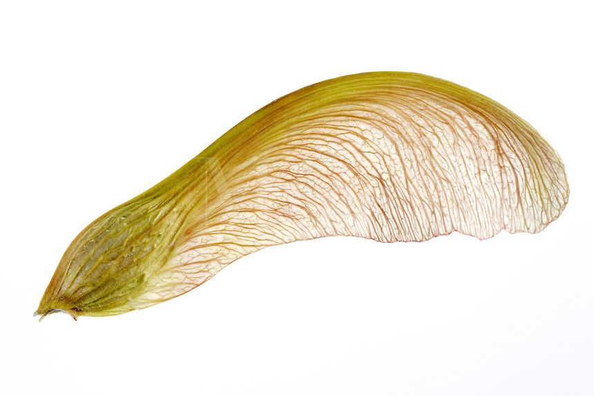 Maple Tree Seeds | Silver Maple Winged Seed, Acer