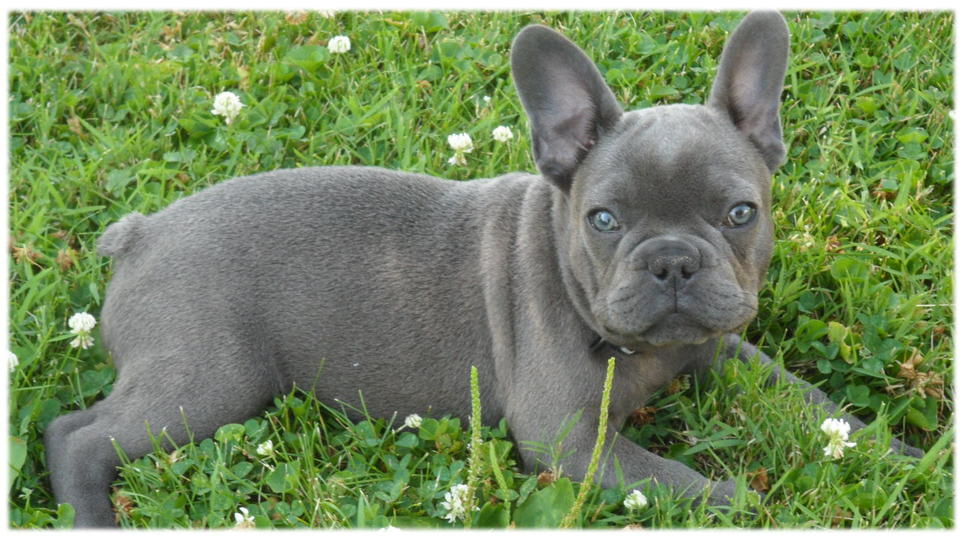 Teacup Puppy For Sale French Bulldog Bianco Bulldog
