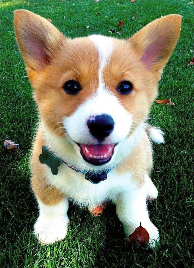 เอาใจคนร กมะหมาแสนน าร ก ด วยล กส น ขส ดน าร กน าเล ยง ร ปท 13 Cute Corgi Cute Corgi Puppy Corgi