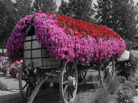 Flower Covered Wagon Color Spalsh Beautiful Flowers Unique Gardens Flowers