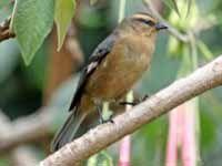 Cinereous Conebill, - Conirostrum cinereum  Found: South America (Andes)