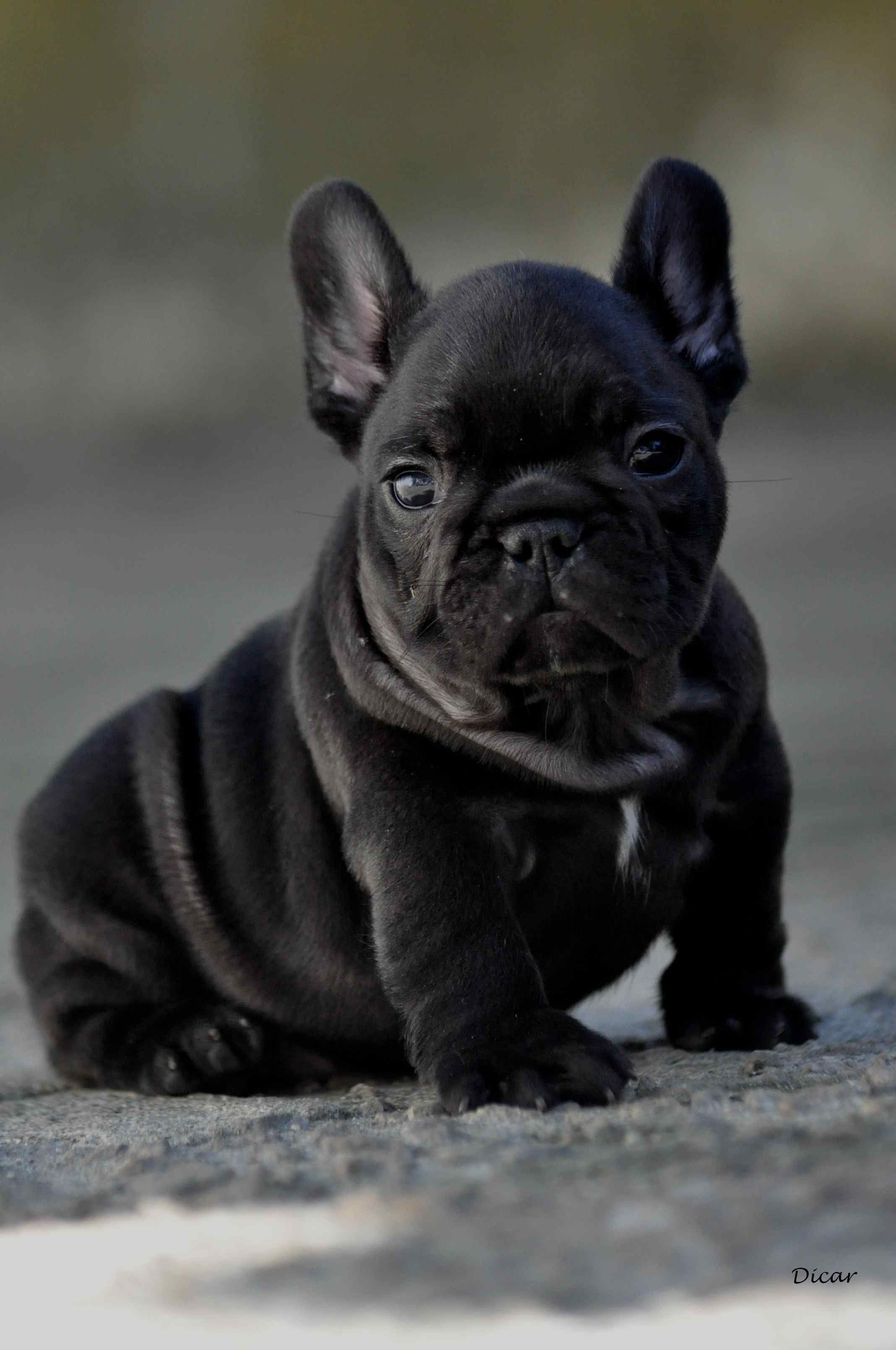 Feeding Guide for French Bulldogs Diet and Nutritional