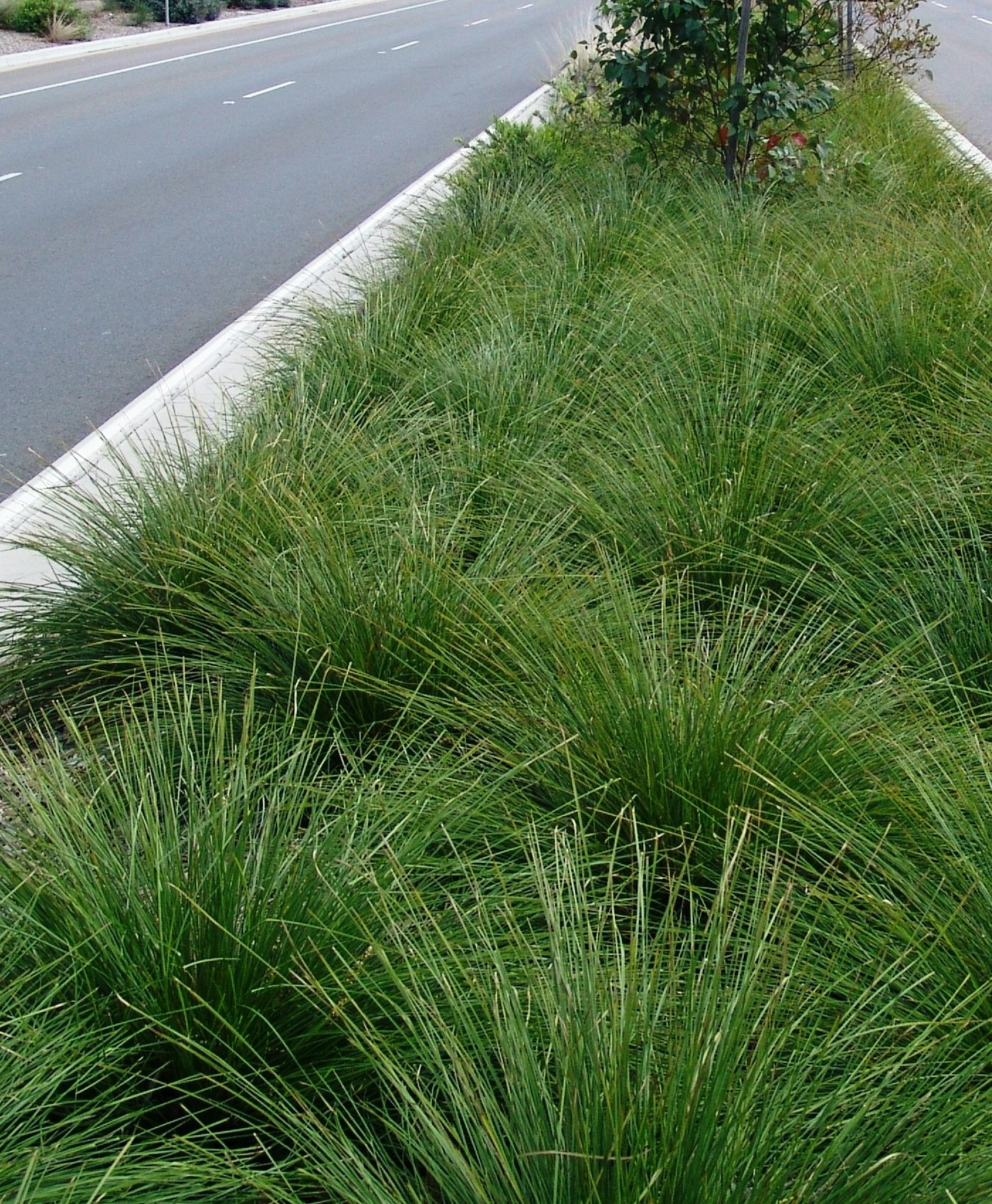 Lomandra longifolia breeze dwarf mat rush drought for Short landscape grasses