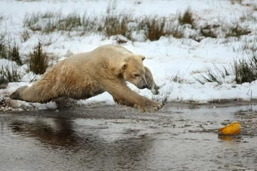 polar bear launches to tussle with a yellow hard hat on his third birthday at the Highland Wildlife Park in Kingussie, Scotland.