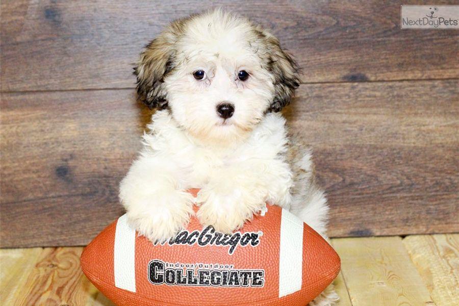 Havanese puppy for sale near columbus ohio 6ea5fc2e