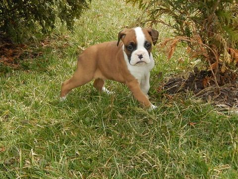 Boxer puppy for sale in DANVILLE, OH. ADN71495 on