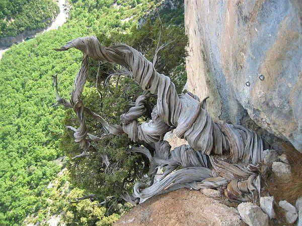 Juniperus_Phoenicea_64.jpg (181.77 KiB) 2706-mal betrachtet