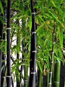 bambou noir phyllostachys nigra flore futur pinterest bambou jardins et plantes. Black Bedroom Furniture Sets. Home Design Ideas