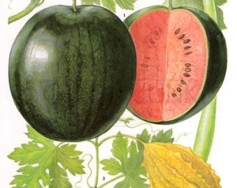 This colourful print taken from the 1970s features pawpaws and avacados. The print looks wonderful framed and would look great in a kitchen space.  If you have any questions about this item or anything in our store please get in touch.  Materials – All of our original prints are taken from vintage and antique books made of high quality paper that is perfect for framing.  Due to different monitor settings and resolutions the appearance of colours may vary slightly from the actual product…