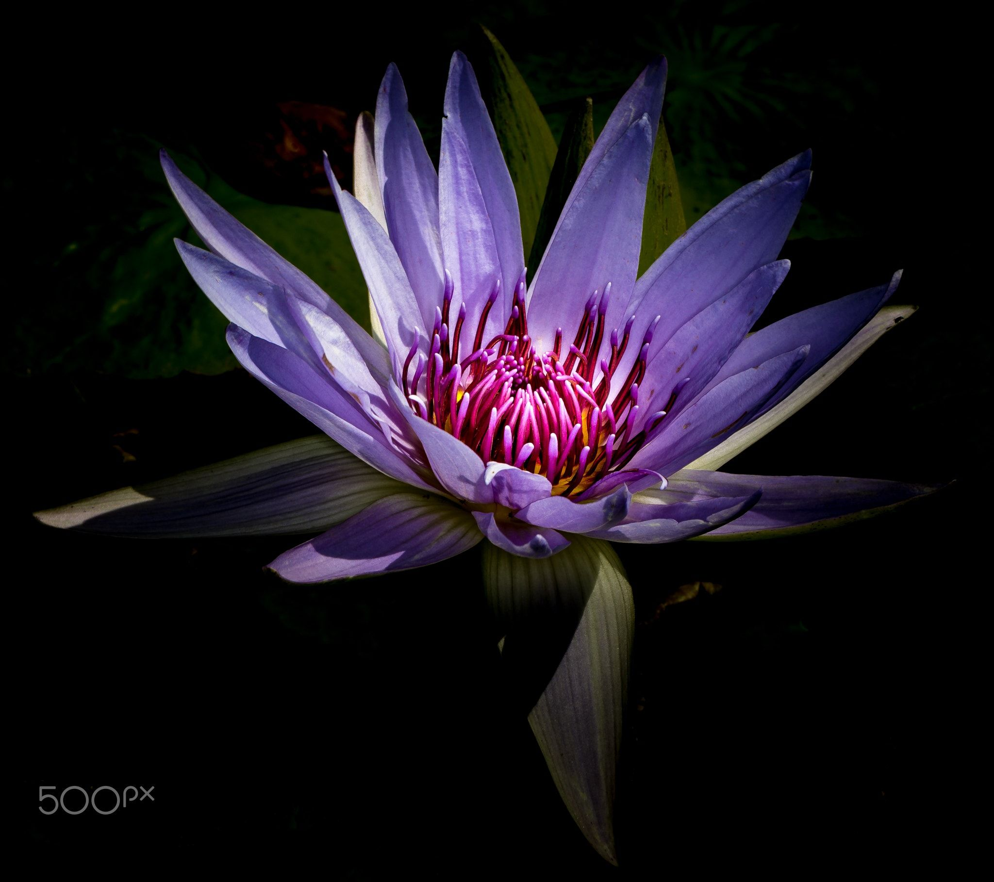 water lily -
