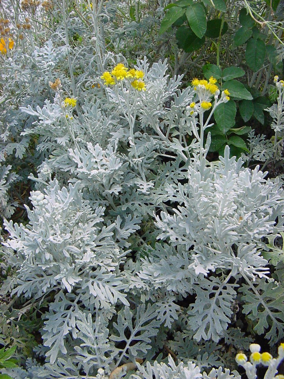 Piante Basse Da Aiuola cineraria marittima | piante | giardino secco, fiori e giardino