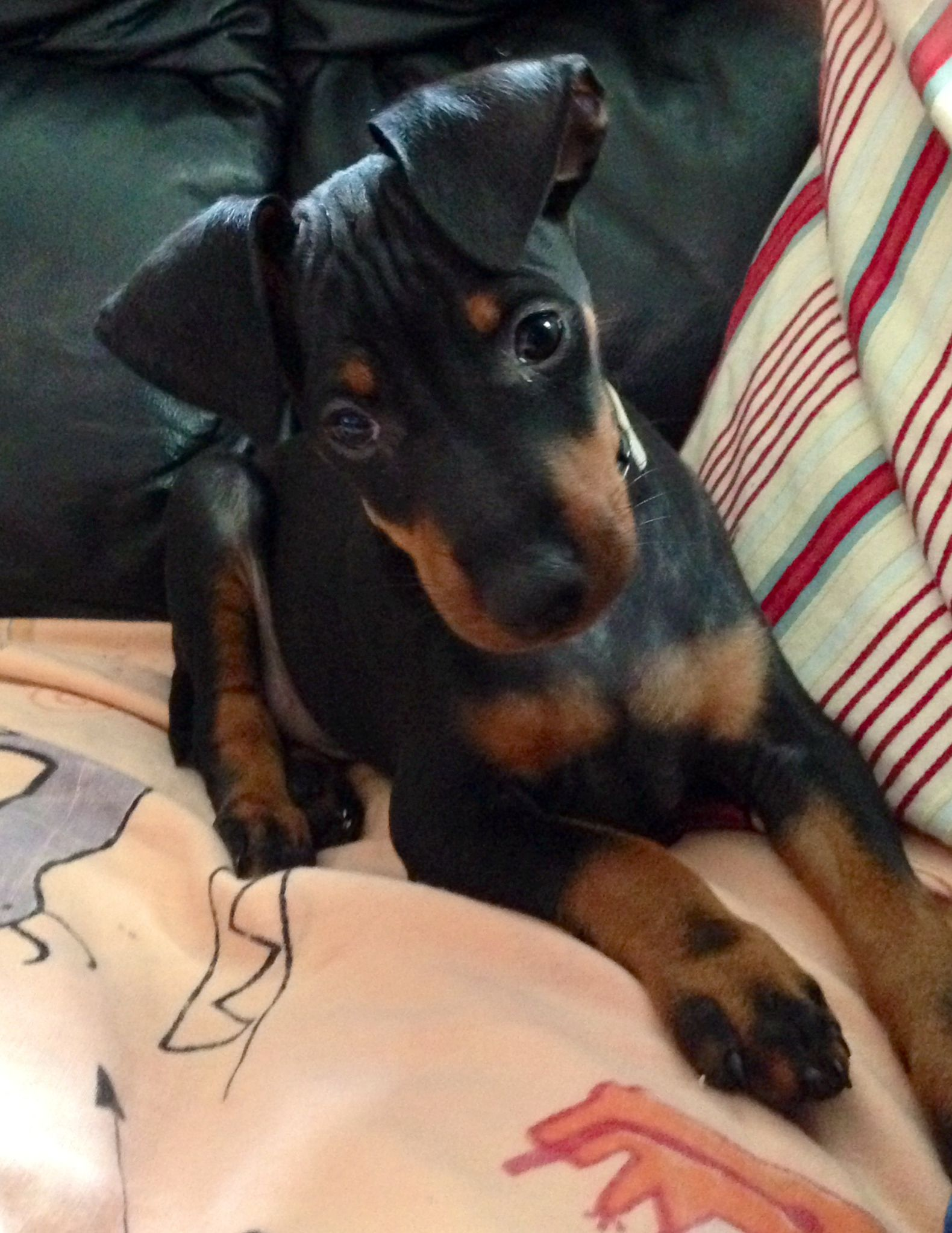 Manchester Terrier Puppy From Your Friends At Phoenix Dog In