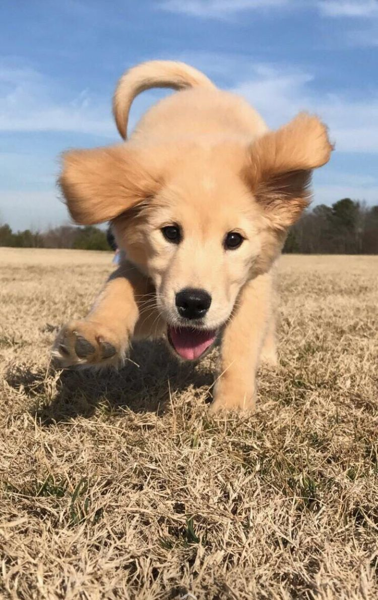 Golden Retriever Puppy Do You Love Cute Dogs Like This Follow Our