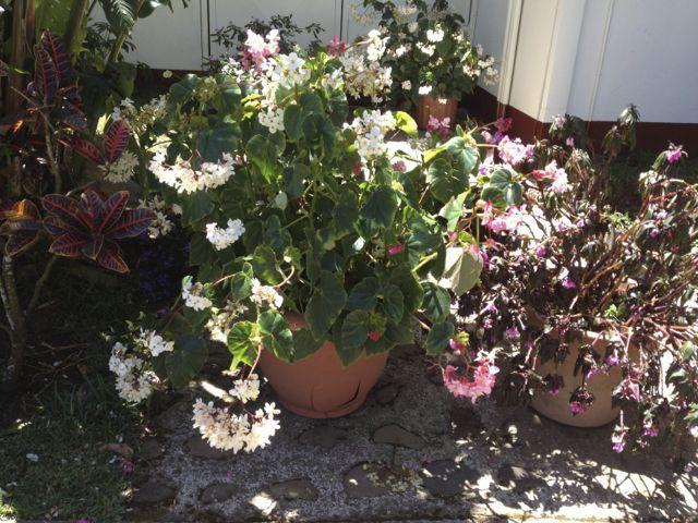 Begonia Pots