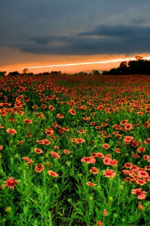 Spring, Texas  Indian Blanket #Beautiful #Places #Photography