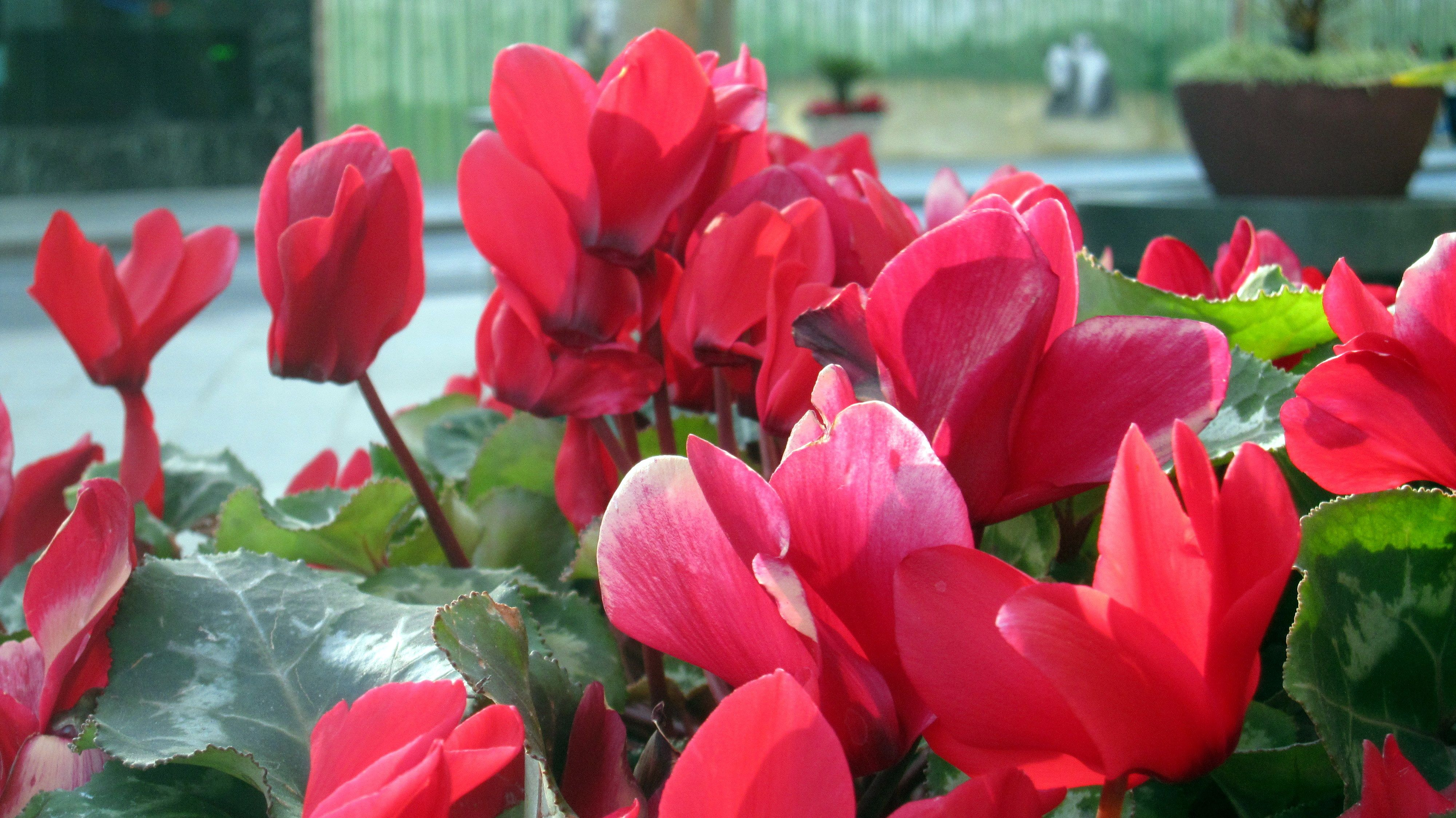 red cyclamen houseplants make long lasting flowering xmas decorations httpwww