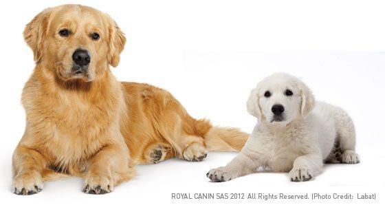 Golden Retriever Golden retriever dog breeds, Dogs