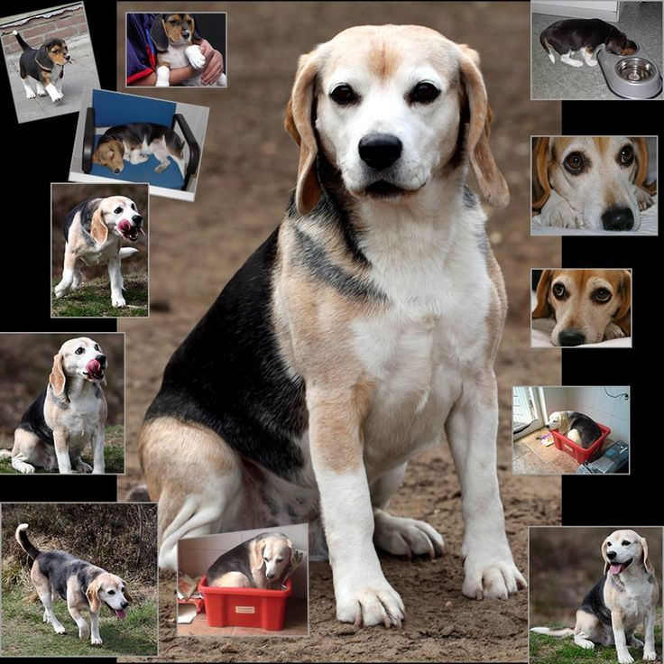 Collage Of Our 14 Year Old Beagle Http Ift Tt 2ncotmb Beagle