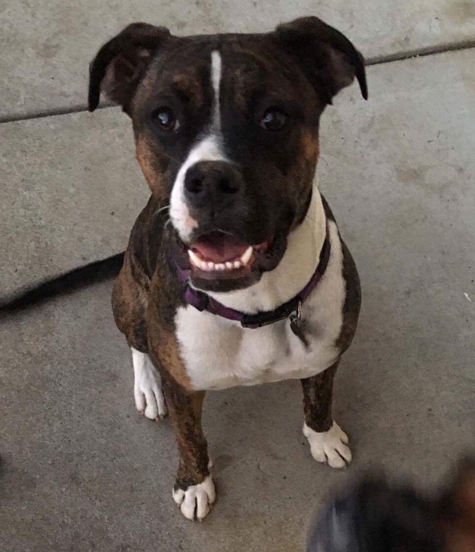 Bulloxer dog for Adoption in Mission viejo, CA. ADN409449