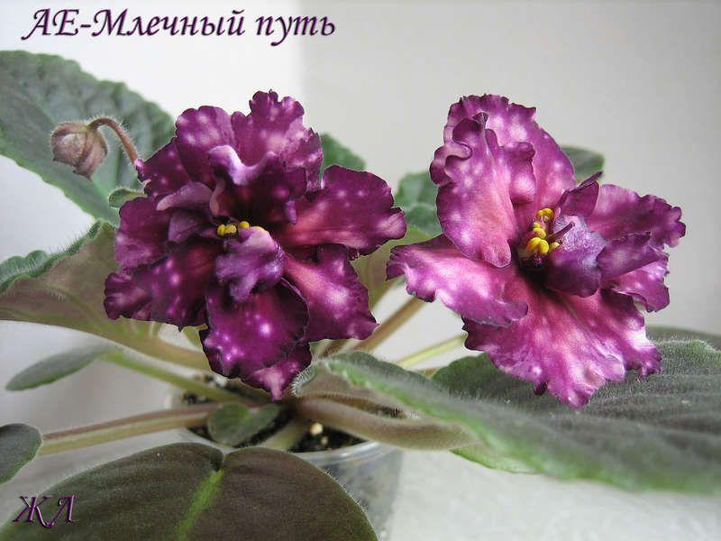 АЕ-Млечный Путь (Е. Архипов) Махровые черно-фиолетовые цветы с огненно-розовыми пятнами. Лист темный. Не имеет аналогов. Популярный сорт среди коллекционеров 2013
