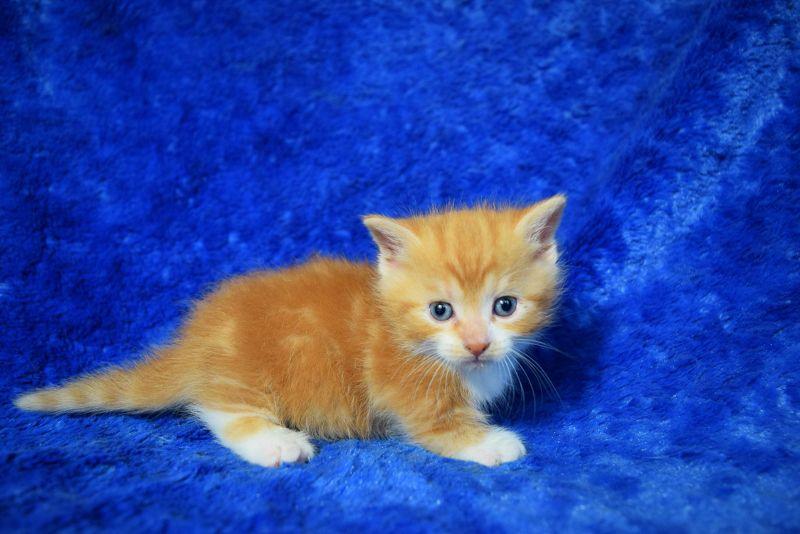 Munchkin kittens munchkin kitten teacup kitten teacup