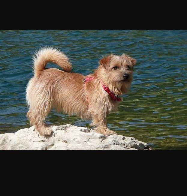 Norfolk Terrier Natural Tail Norfolk Terrier Dog Heaven Terrier