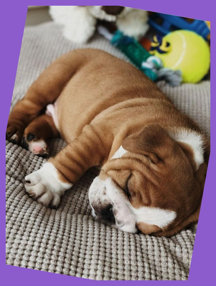 Pin By Paige Revell On Puppies In 2020 Bulldog Puppies English