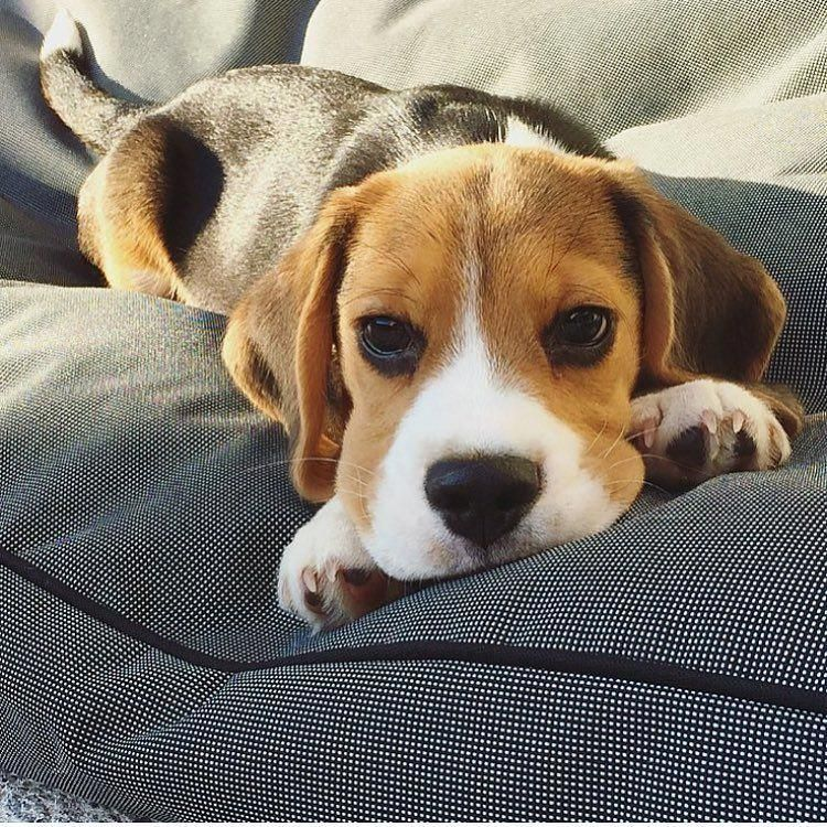 Facts On The Friendly Beagle Puppy And Kids Beaglelover