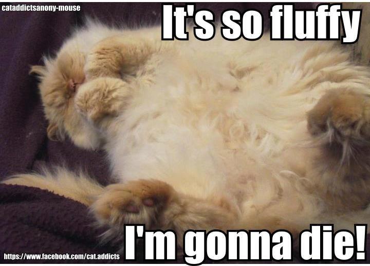 It S So F L U F F Y Lol Quote Look At The Foot Fur Inter Toe Fluff Looooooook At It Cats Cat Kids Cat Memes
