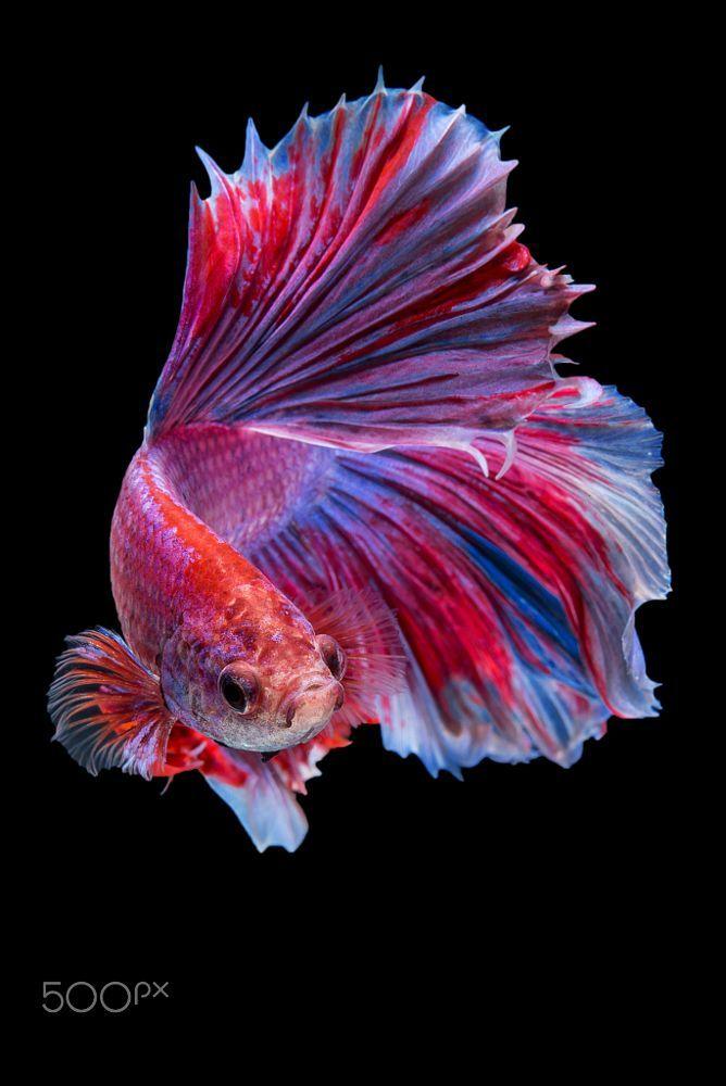 Halfmoon Betta Fish By Da Nokkaew On 500px Betta Fish Betta Pretty Fish