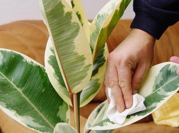 Zimmerpflanzen pflegetipps zimmerpflanzen pflanzen pflanzen pflege und tropische pflanzen for Exotische zimmerpflanzen