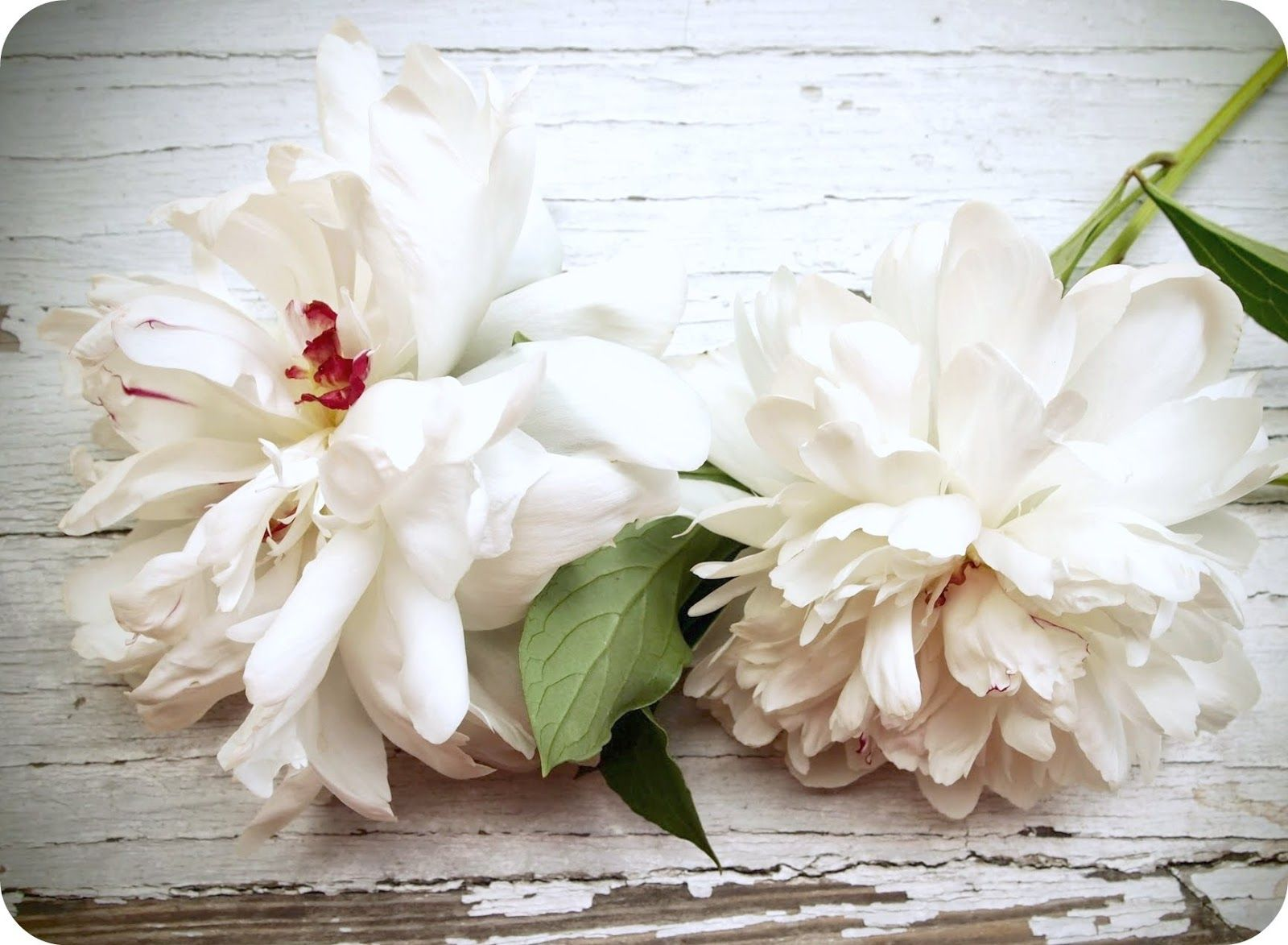 White Peonies With Images White Peonies Peonies All Flowers