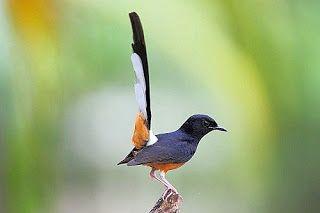 Foto Burung Murai Batu Pet Birds Batu Animals