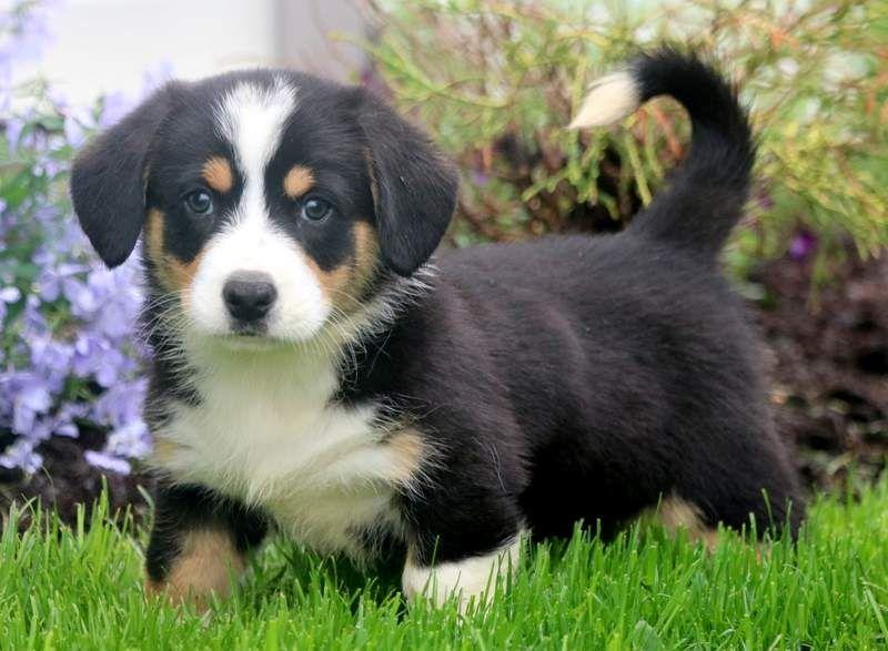 Hank Corgi Mix Breeds Welsh Corgi Puppies Corgi