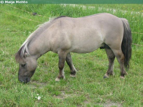 Non-registered Shetland Pony gelding Keimo. A nice example of a grullo coloring: mouse-gray color, bi-colored mane and tail, some very faint zebra markings on the legs and an eel stripe.