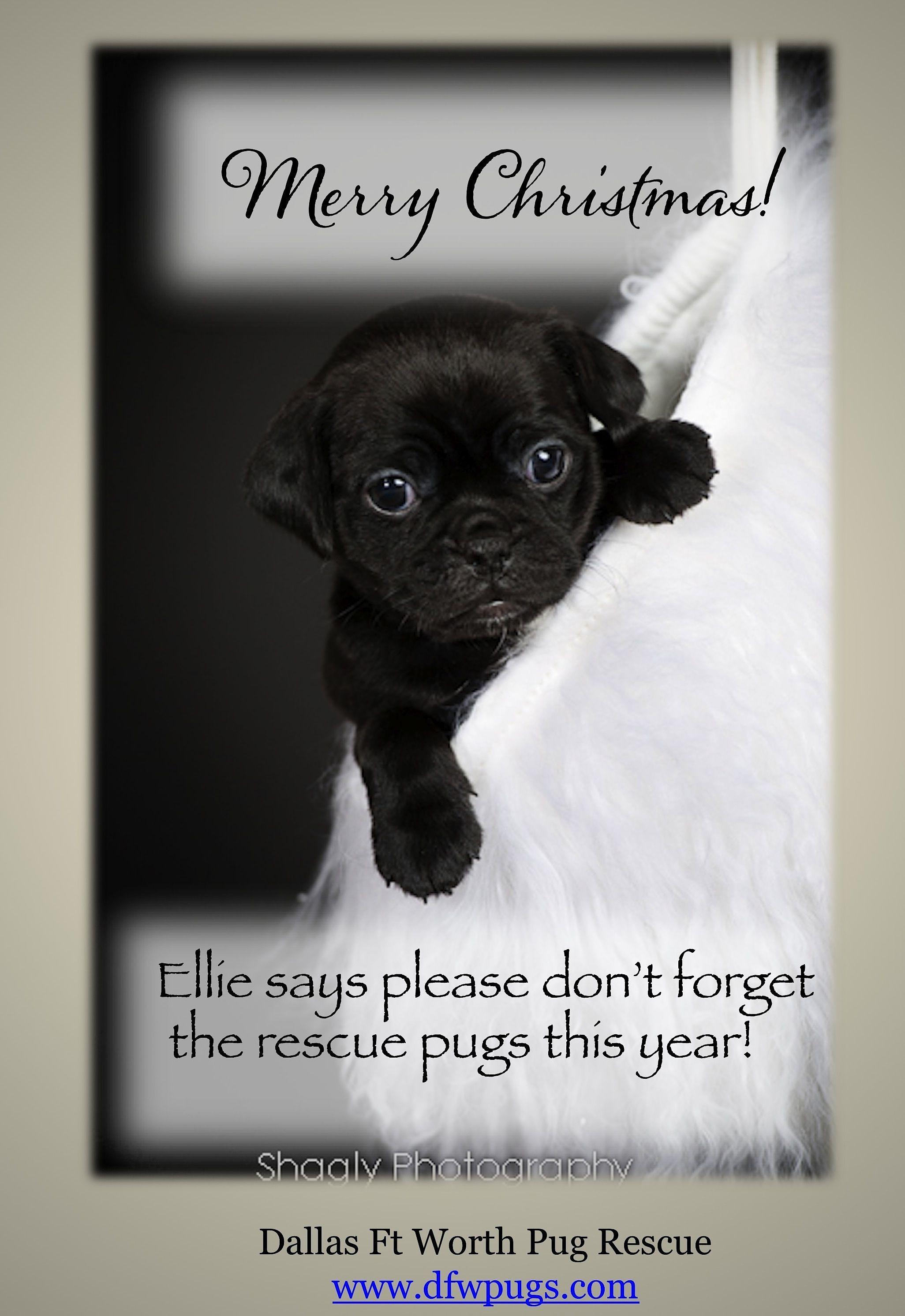 Dfw Pug Rescue Amazing Pug Rescue Pugs Rescue