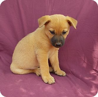 Richmond Va German Shepherd Dog Labrador Retriever Mix Meet